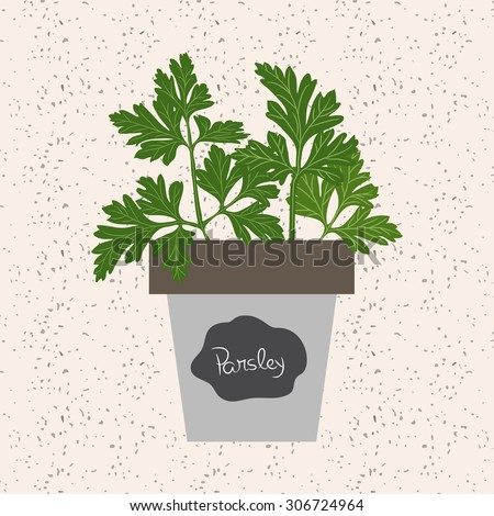 Fresh parsley herb in a Flowerpot. Aromatic leaves used to season meats, poultry, stews, soups, Bouquet granny - stock photo