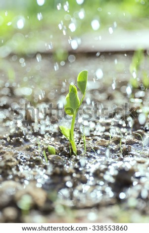 fresh pea plant emerging from the ground in an organic garden - stock photo