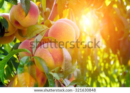 Fresh peach tree - stock photo