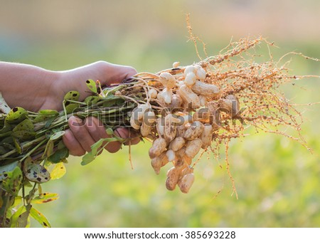 fresh peanuts plants with roots. - stock photo