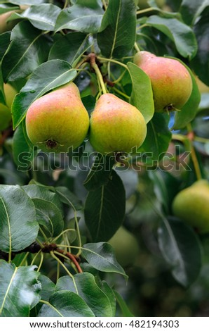 Fresh pears on a branch in the leaves