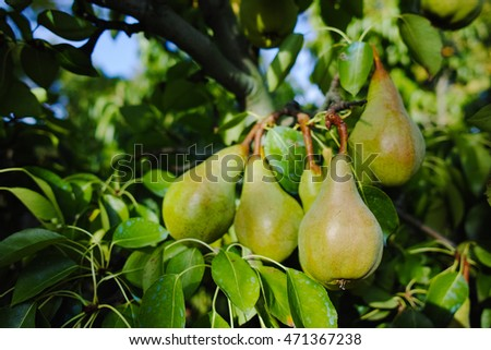 Fresh pears on the branch in Provence, France