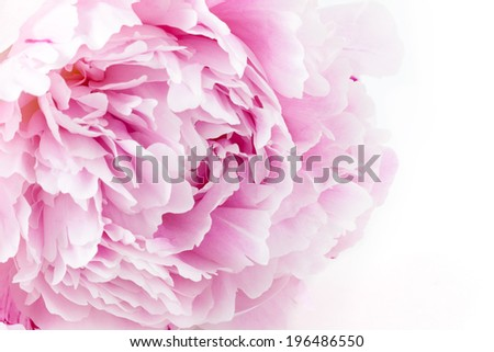 Fresh peony on a white background - stock photo