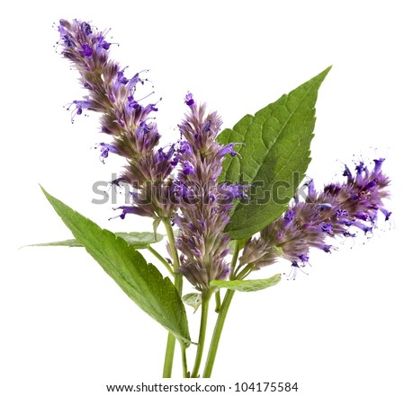 fresh peppermint herb and flowers isolated on white background - stock photo