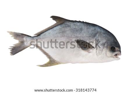 Fresh permit fish isolated on white background - stock photo