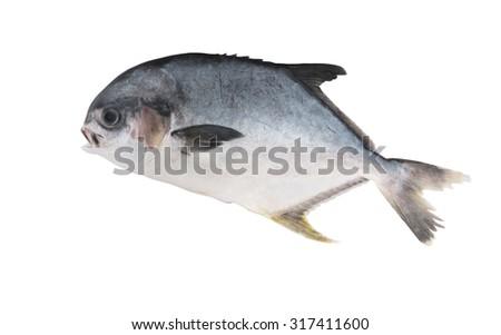Fresh permit fish isolated on white background, trachinotus falcatus - stock photo