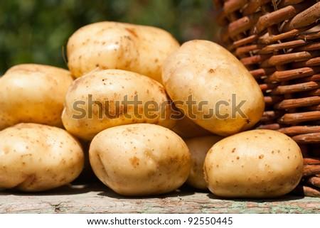 Fresh picked potatoes next to a woven basket - stock photo