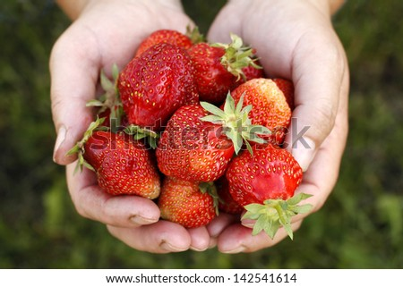 Fresh picked strawberries held over strawberry plant