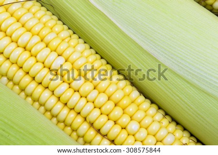 Fresh picked yellow corn cobs close up