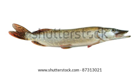 Fresh pike fish isolated on white