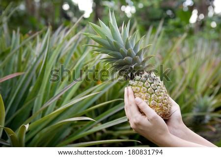 Fresh Pineapple held in hands in a pineapple garden - stock photo