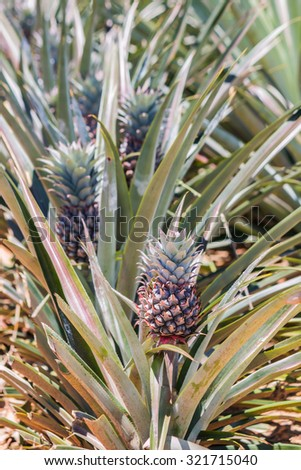 fresh pineapple in garden - stock photo