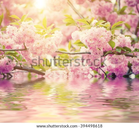 Fresh pink flowers of sakura growing in the garden, natural spring outdoor background with water reflection - stock photo
