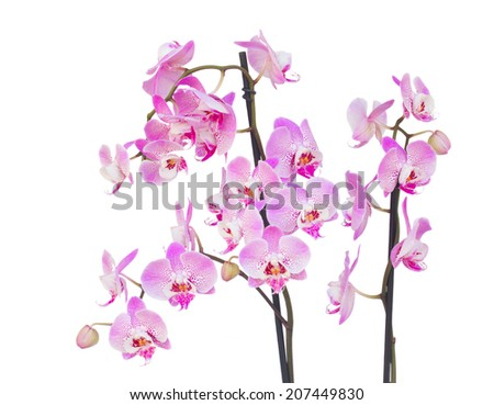 fresh pink  orchid branch isolated on white background - stock photo