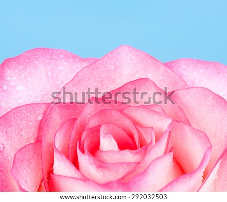 fresh pink rose flower, on blue background