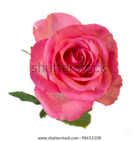 fresh pink rose isolated on white background - stock photo