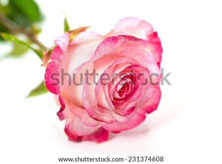 Fresh pink roses on white background