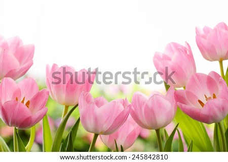 Fresh pink tulip flowers - stock photo