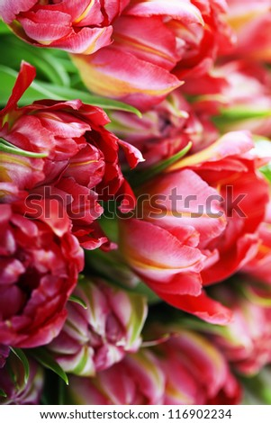Fresh Pink tulips  background - selective focus - stock photo
