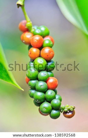 Fresh Piper nigrum on its tree. It's ready for food ingredient and make herb.  - stock photo