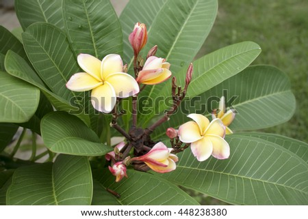 Fresh plumeria flower on green leaf background in natural light