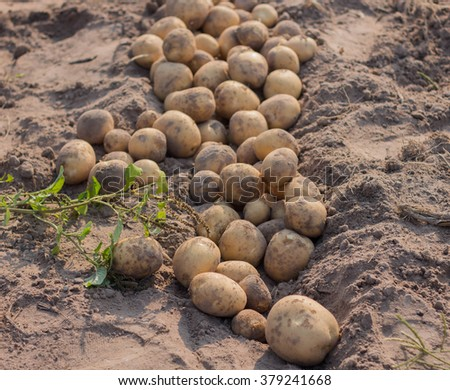Fresh potatoes dug out of the ground on a farm - stock photo