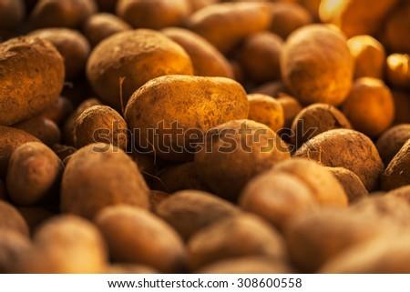 Fresh potatoes. Harvesting time. - stock photo