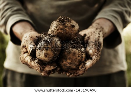 fresh potatoes in farmer's hands. - stock photo