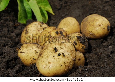 Fresh potatoes when harvested from organic farms - stock photo