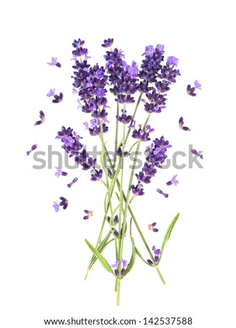 fresh provencal lavender flowers isolated on white background - stock photo