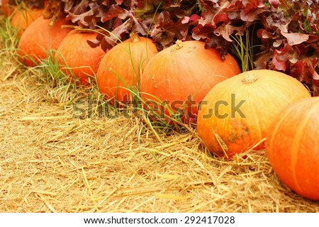 Fresh pumpkins in nature at the garden.
