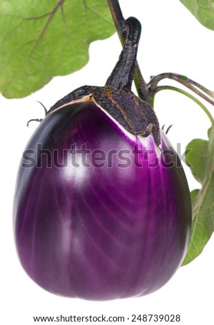 Fresh purple aubergine on a branch isolated on white background - stock photo