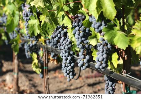 Fresh purple grapes on vineyard during harvest - stock photo