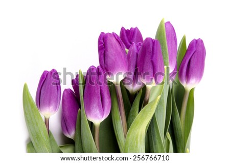 fresh purple tulips at a bright background - stock photo