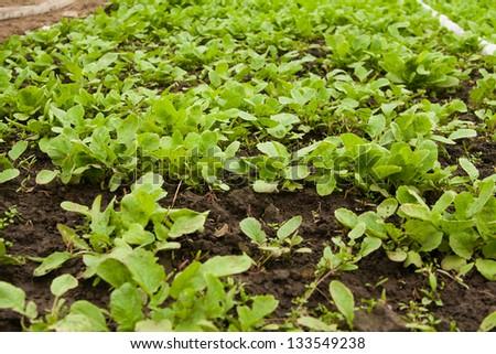 Fresh radish seedlings, in a greenhouse - stock photo