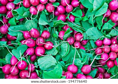 Fresh radishes of purple color and green leaves. Popular and healthy vegetable for making salads - stock photo