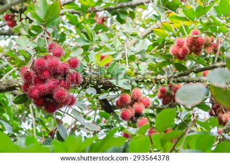 Fresh rambutans on the tree in the garden in Jantaburi province,Thailand.it is the native fruit of southeast Asia. - stock photo