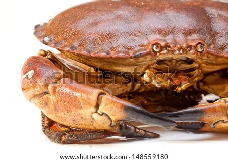 Fresh raw edible brown sea crab also known as Cancer pagurus  isolated on white background
