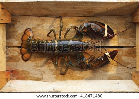 Fresh Raw lobster - stock photo