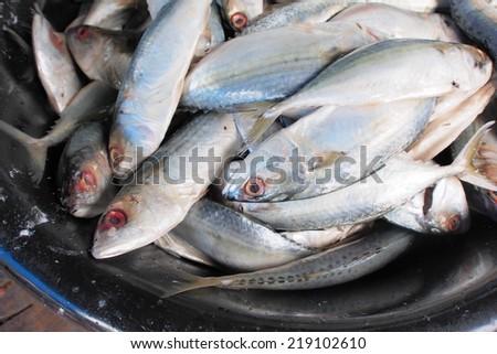 Fresh raw mackerel fish in basket. - stock photo