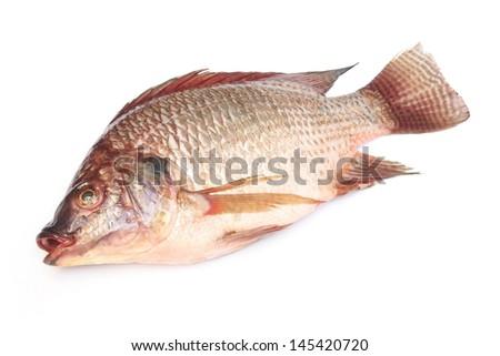 fresh raw Tilapia fish on white background - stock photo