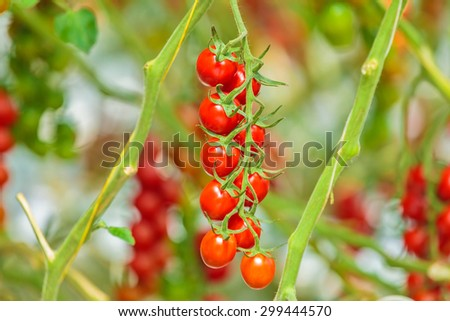 Fresh ready to harvest red cherry tomatoes in a greenhouse - stock photo