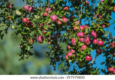 Fresh red apples on apple tree branch in the garden - stock photo