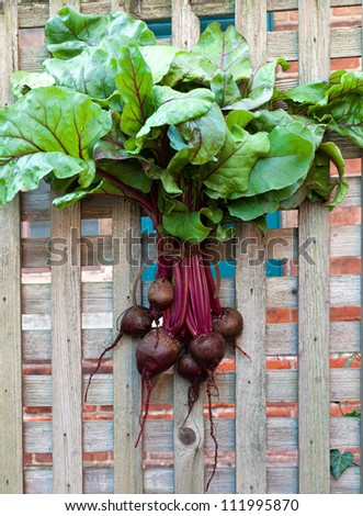 Fresh Red Beets Hanging on Fence - stock photo