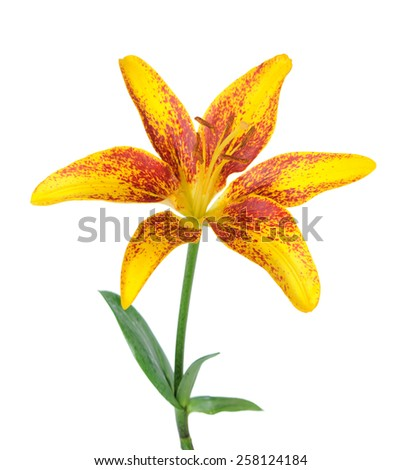 fresh red lily flower isolated on white  - stock photo