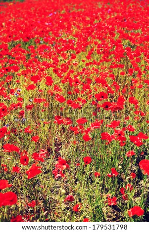 Fresh red poppies on field