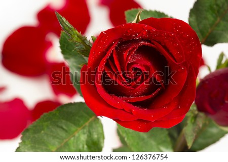 fresh red rose on background with water drop - stock photo