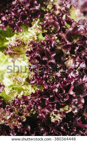 Fresh red salad lettuce leaves  on a background of white brick wall top view close up vertical - stock photo