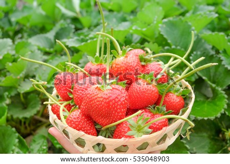 fresh red strawberry in the basket and green leaf in farm