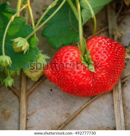 Fresh Red Strawberry Plant In Field